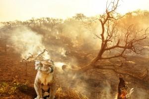 Australian koala wildlife in the fire